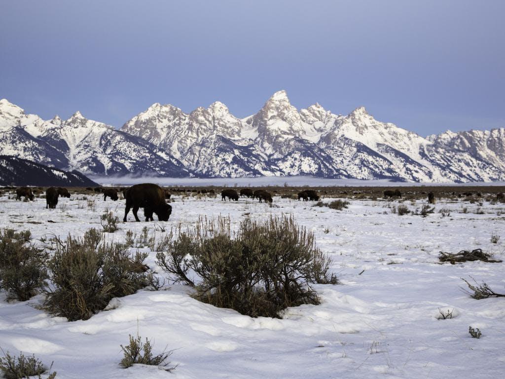 20141209 Es Teton Bison  Large