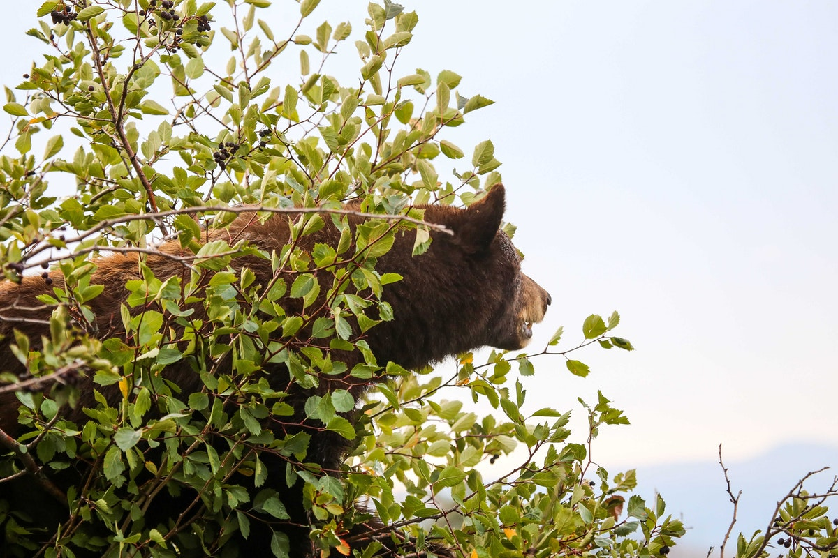 Bear in some bushes