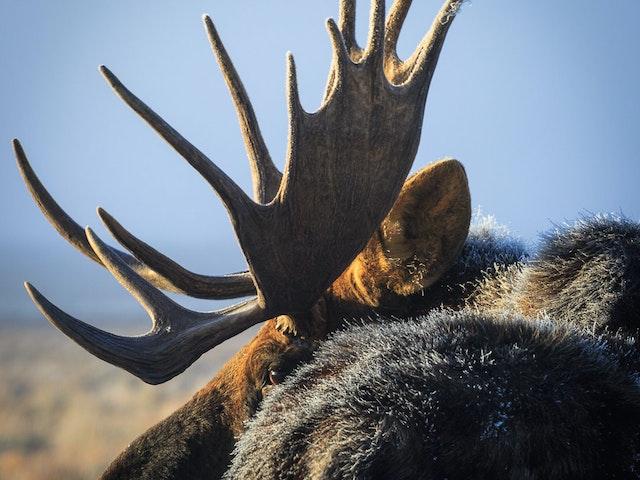 Moose Ecotour Metten