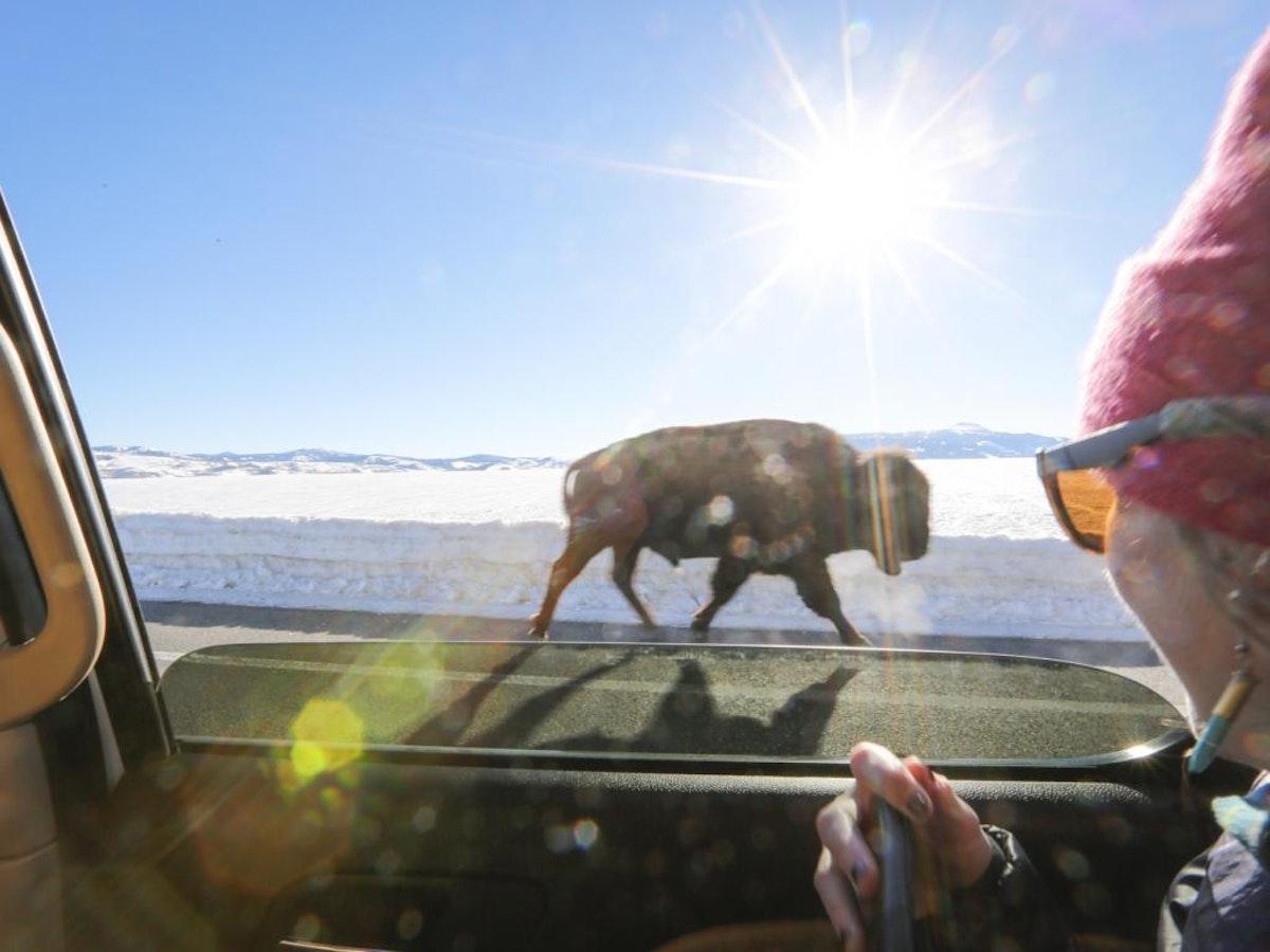 Buffallo Walking On Road  Large