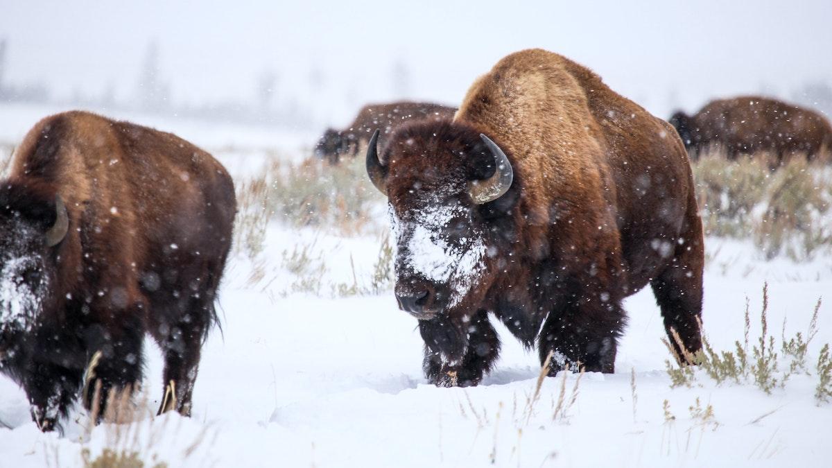 Powdered Bison