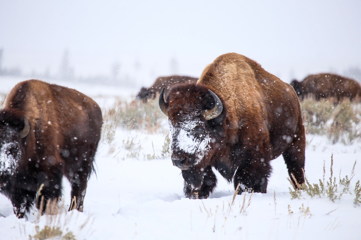 Powdered Bison