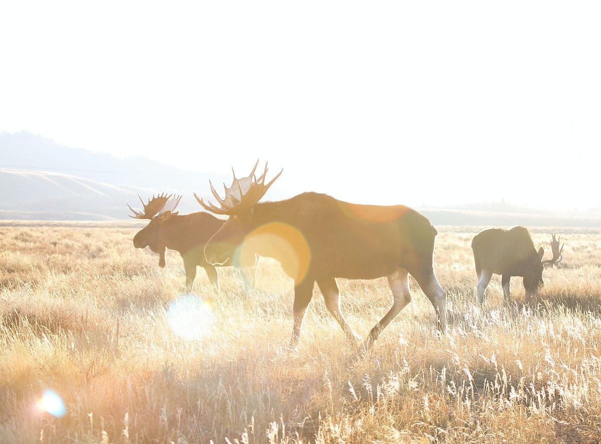 Three Bull Moose