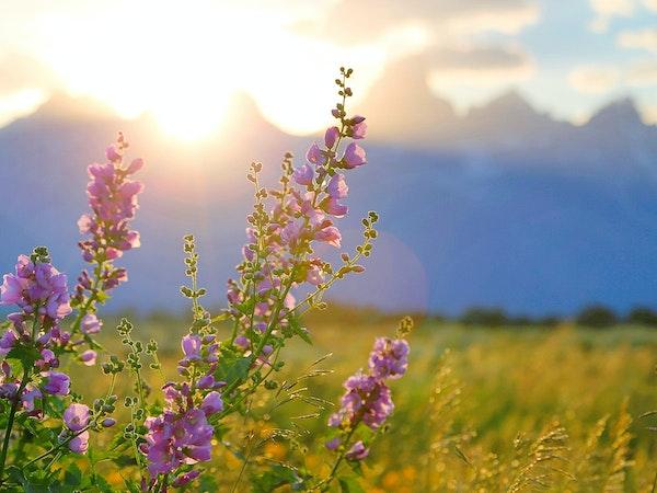 https://visitjacksonhole.imgix.net/images/wildflower-sunburst.jpg?auto=format%2Ccompress&crop=focalpoint&cs=strip&fillTransforms=1&fit=crop&fp-x=0.5&fp-y=0.5&h=450&q=80&w=600